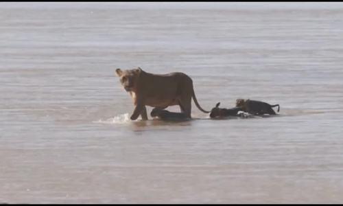 Sư tử mẹ cứu con khỏi bị nước cuốn