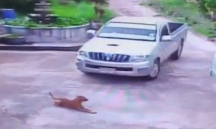 Chó cưng 'ăn vạ' ngán đường ôtô
