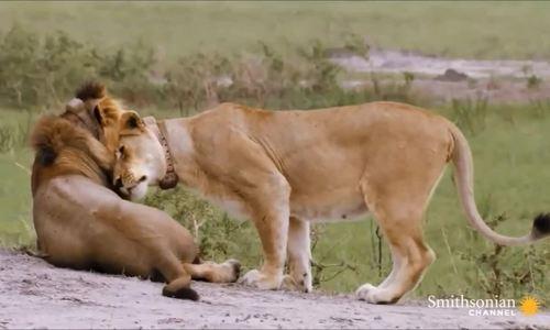 Sư tử cái một mình đi săn mồi cho con đực