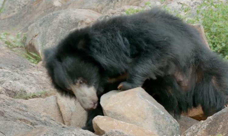 Vũ khí giúp gấu lợn phá tổ mối cứng như bê tông