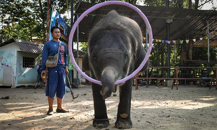 Voi Thái Lan vắt kiệt sức luyện tập hầu du khách