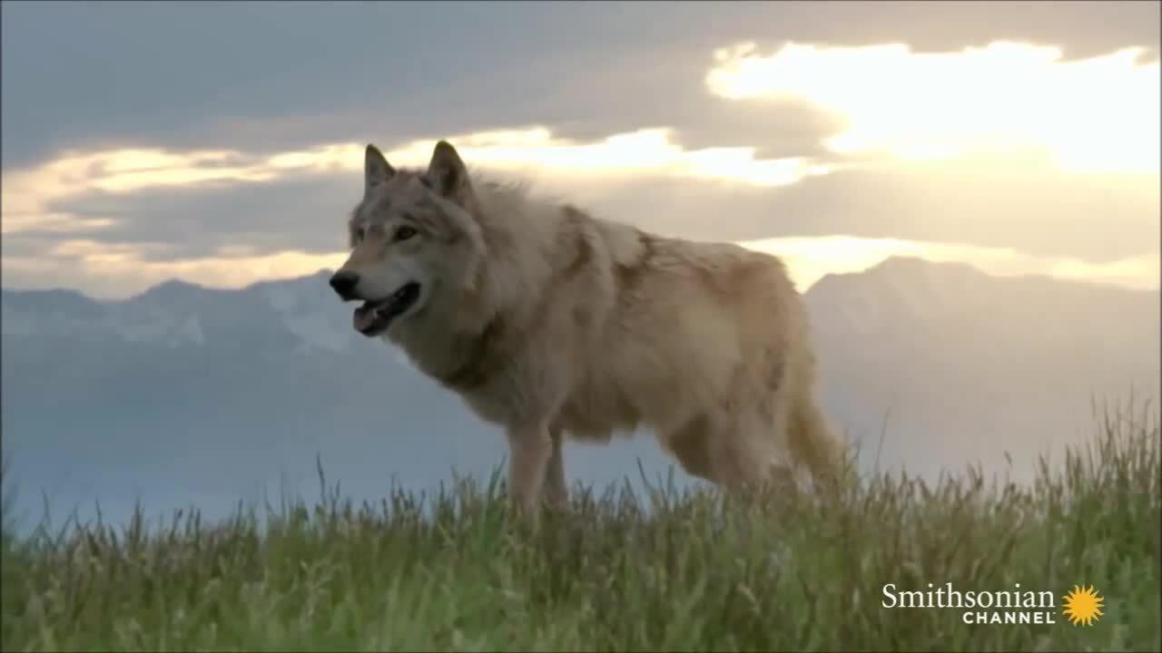 Khả năng giúp nai sừng xám con thoát vuốt sói