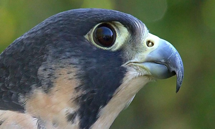 Loài chim tìm mồi trong khi bay nhanh như xe đua