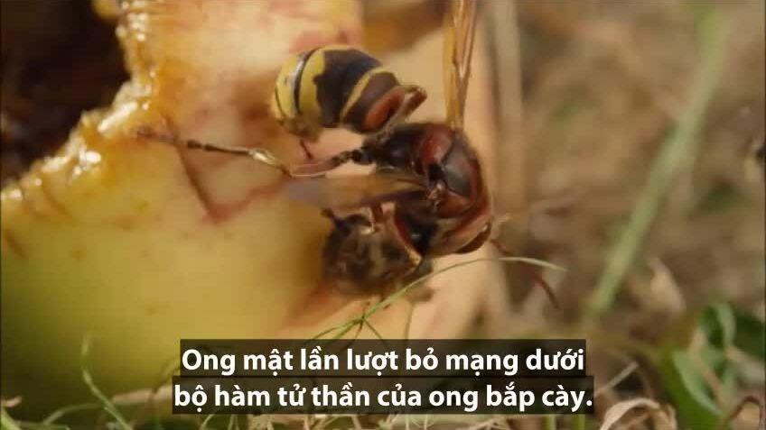 Ong bắp cày lao xuống đoạt mạng ong mật