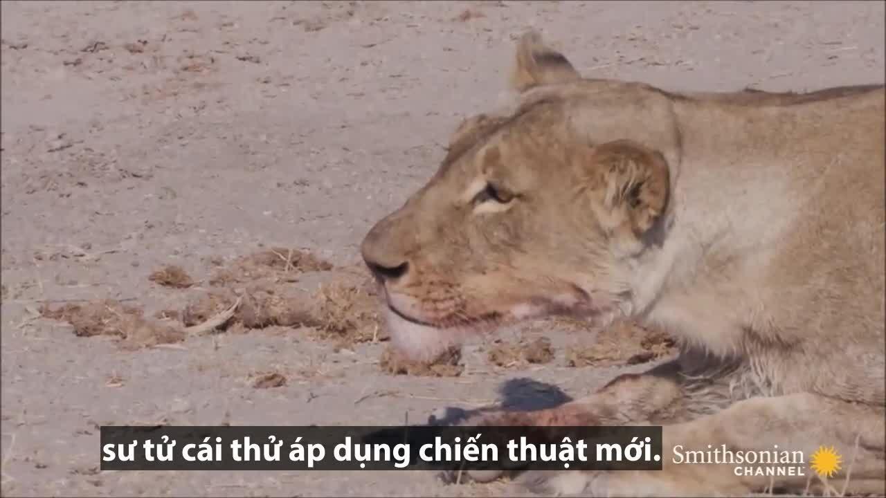 Mải uống nước, linh dương mất mạng dưới hàm sư tử