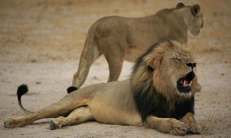 Sư tử lạc anh vì mải bám theo bạn tình