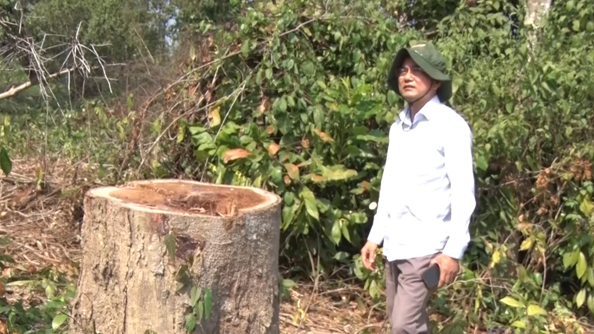 61 cây gỗ rừng bị đốn hạ để làm dự án