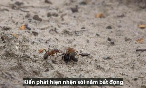 Đàn kiến trộm nhện sói khỏi tay ong bắp cày