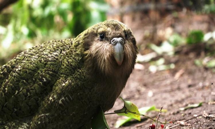 Nỗ lực hồi sinh loài vẹt nặng nhất thế giới
