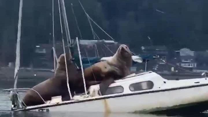 Sư tử biển béo ú suýt đè chìm thuyền