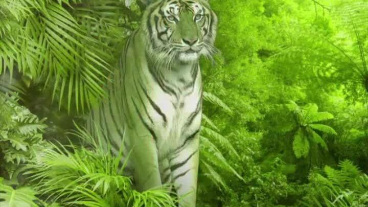 Lý do hổ có nhiều sọc đen trên cơ thể