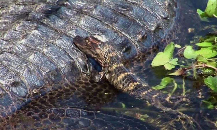 Đàn cá sấu non vừa nở liền bơi đi tìm mẹ