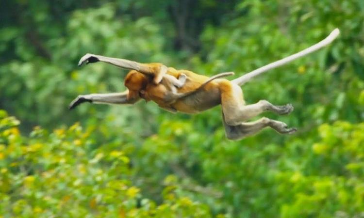 Khỉ vòi nhảy xuống khúc sông đầy cá sấu