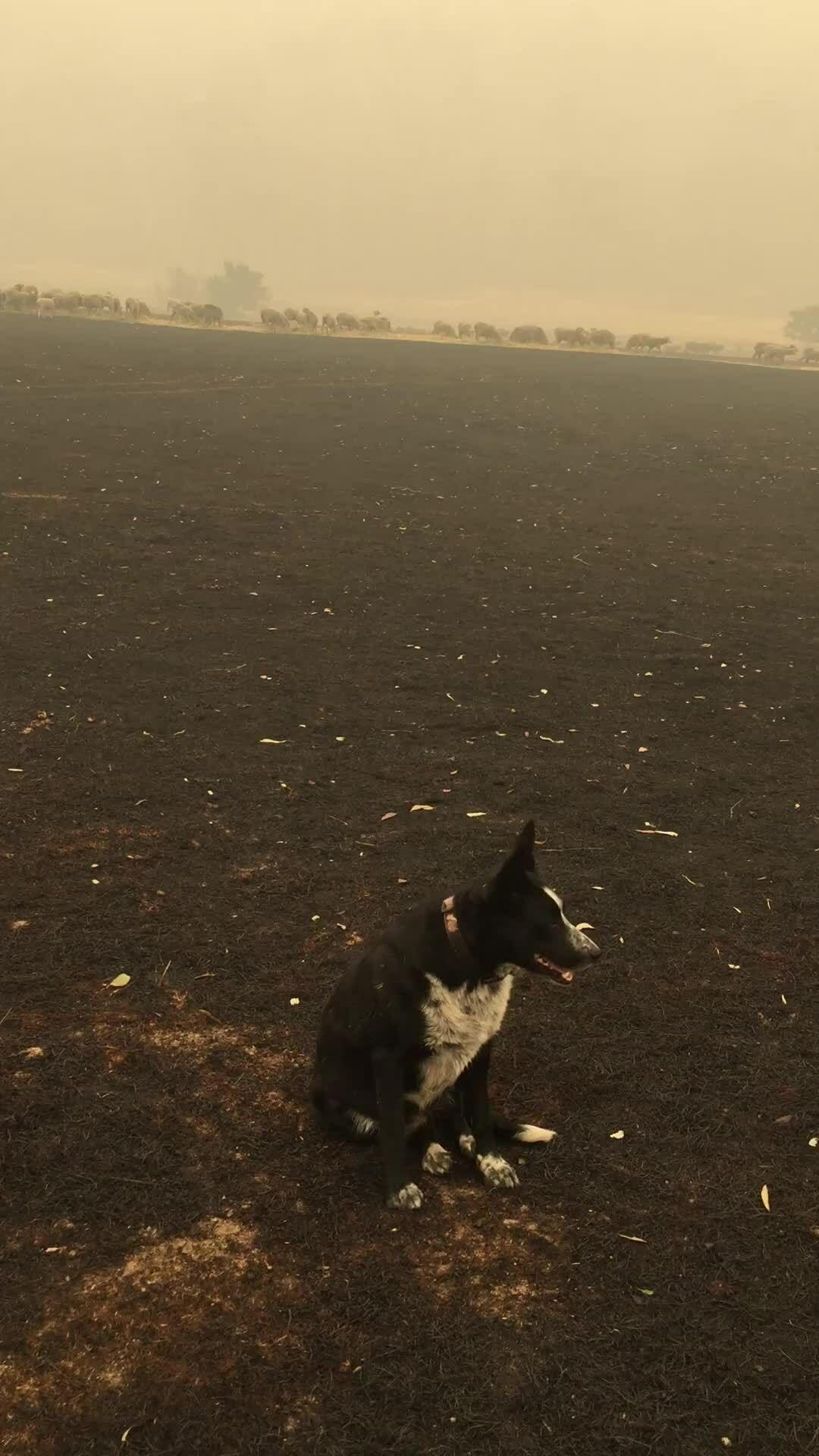Chó cứu hàng chục con cừu khỏi đám cháy rừng