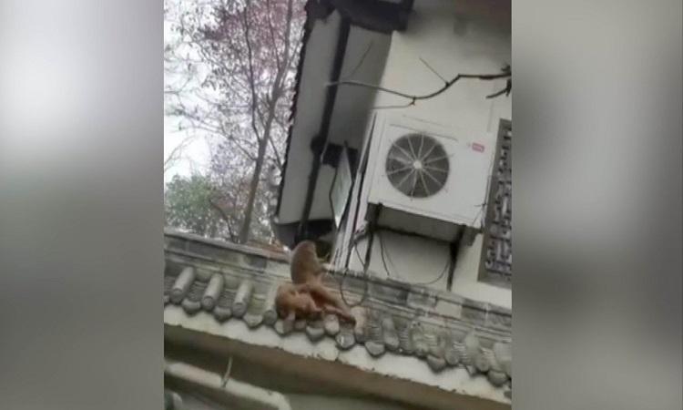 Khỉ trèo mái nhà cứu bạn bị điện giật