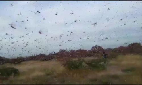 Hàng trăm triệu châu chấu sa mạc bay tới Kenya