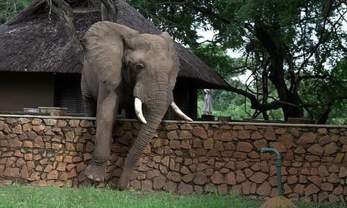 Voi đực trèo tường vào sân vặt xoài