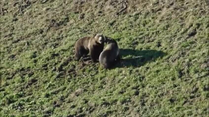 Gấu đực đua tốc độ để tán tỉnh con cái