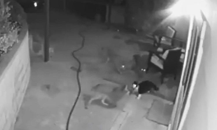 Mèo đuổi đánh ba con sói đồng cỏ mò vào nhà chủ