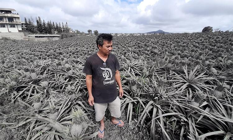 Tro núi lửa chôn vùi trang trại dứa
