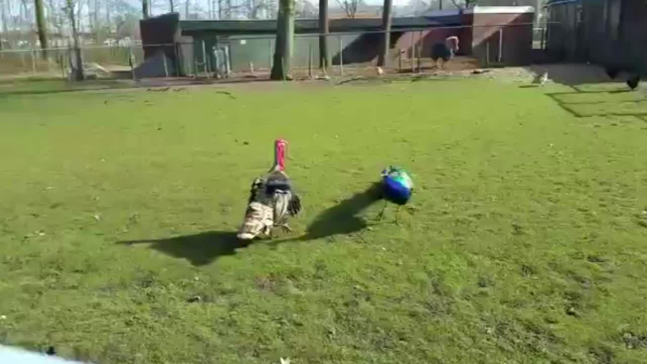 Chim công tháo chạy khi đối đầu gà tây