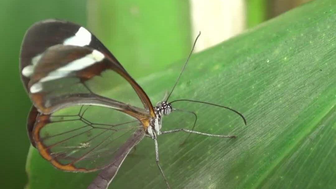 Loài bướm có cánh trong suốt như thủy tinh