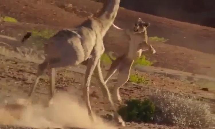 Sư tử muối mặt sau vì người cắn hươu cao cổ