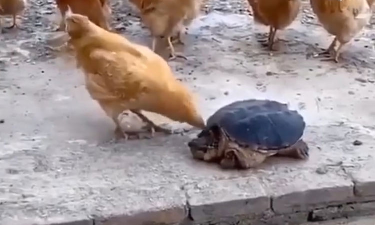 Gà trả giá khi trêu chọc rùa