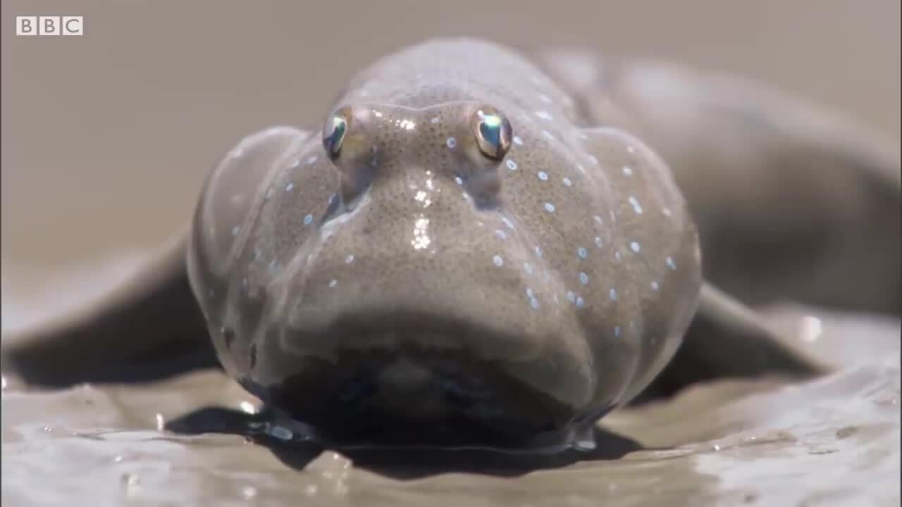 Loài cá bống sống trên cạn, biết đi bộ