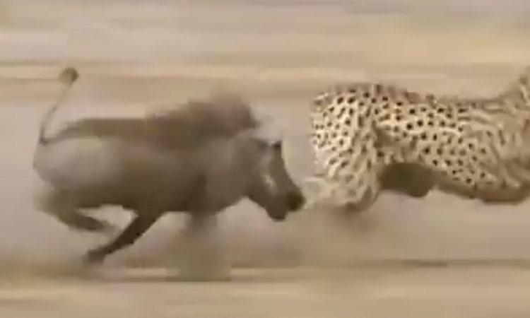 Báo chạy 'bán sống bán chết' vì bị lợn rừng đuổi