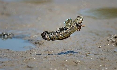 Cách cá thòi lòi lướt như bay trên mặt nước