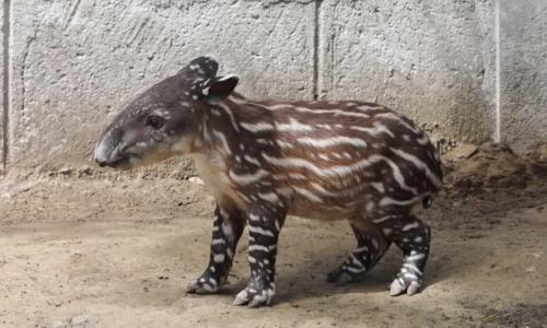 Lợn vòi bên bờ tuyệt chủng chào đời tại sở thú