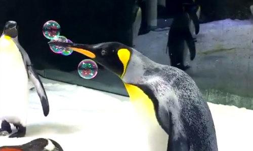 Chim cánh cụt thích thú chơi bong bóng xà phòng