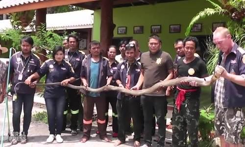 Hổ mang chúa bị bắt vì giao phối trong vườn nhà dân