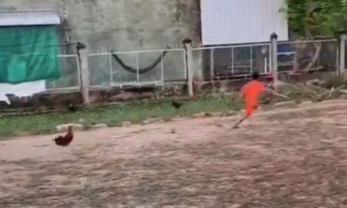 Gà trống đuổi cậu bé chạy thục mạng