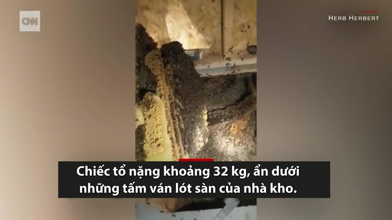 Phát hiện tổ ong mật 150.000 con dưới sàn nhà
