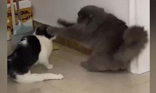 Ra oai trồng cây chuối, mèo vẫn bị đối thủ đánh sấp mặt