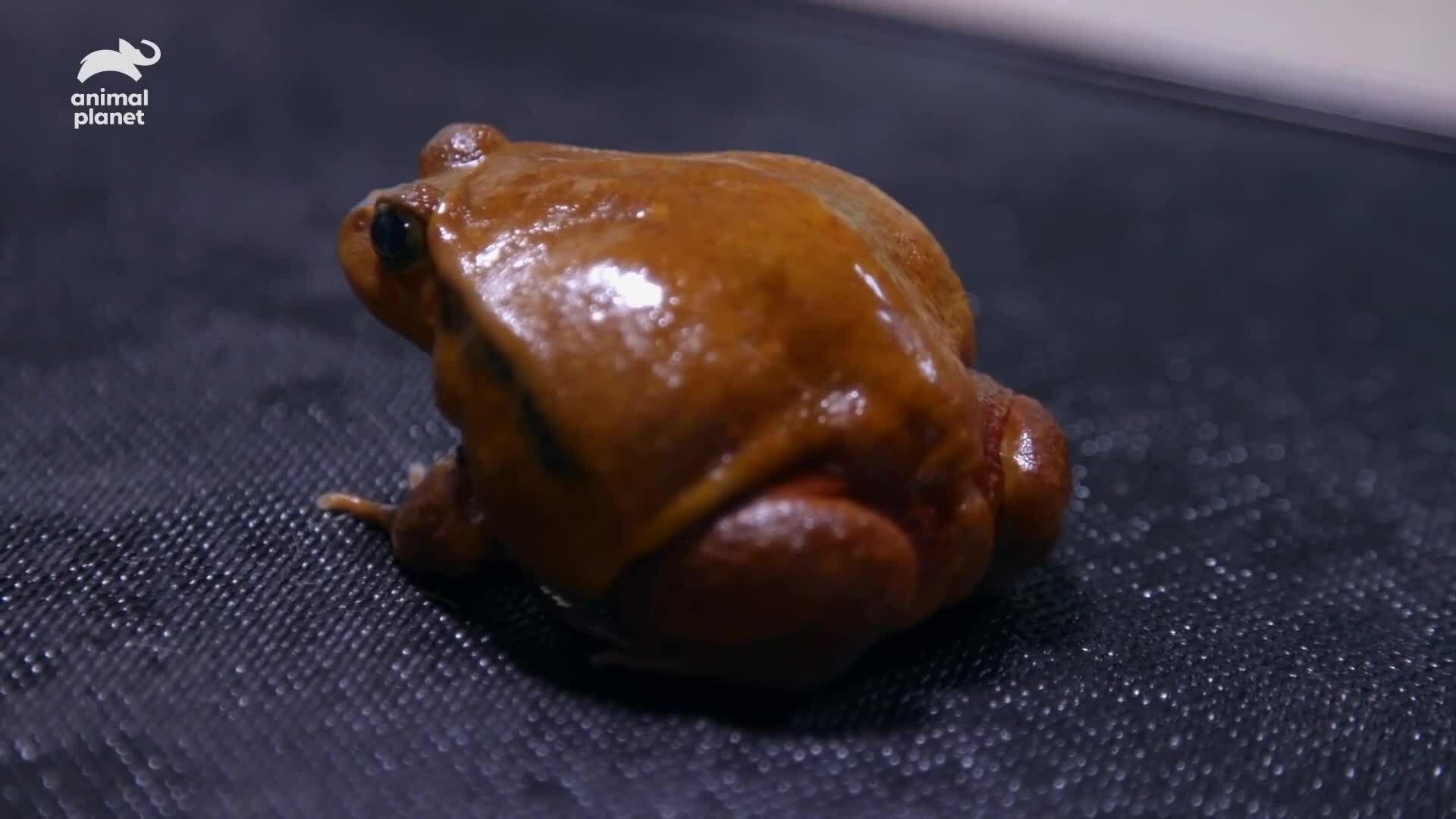 Loài ếch 'thổi phồng' cơ thể để lừa kẻ thù