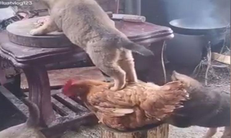 Gà làm bệ đỡ giúp chó ăn vụng