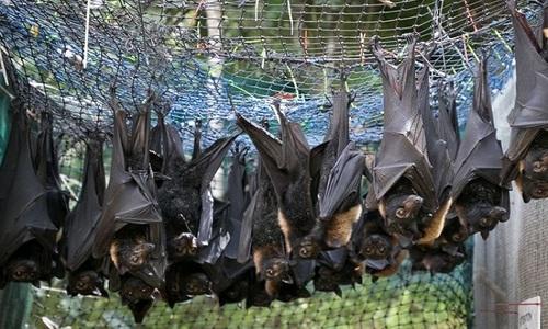 Tiêu diệt hàng trăm con dơi ngăn nCoV lây lan