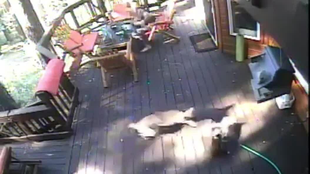 Sói lao đến vồ chó trước mặt chủ