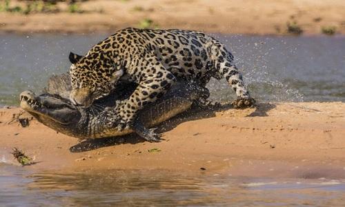 Báo đốm bơi qua sông đoạt mạng cá sấu