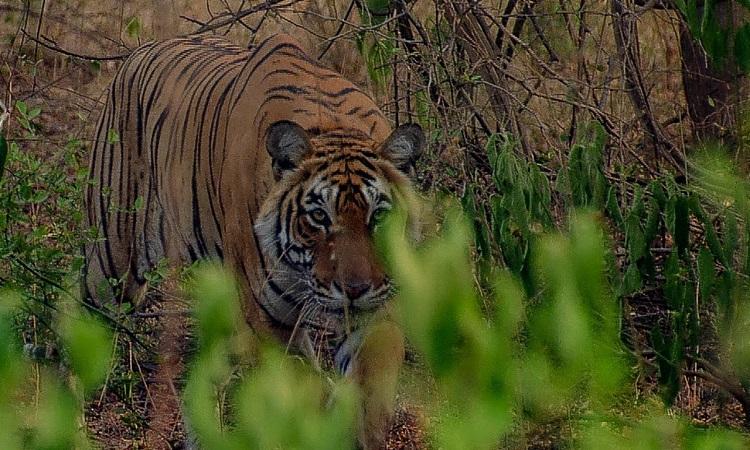 Đàn voọc phá đám khiến hổ săn mồi thất bại
