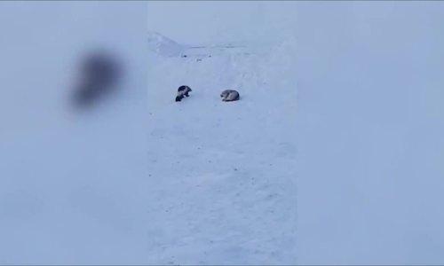 Chồn sói đơn độc chống lại đôi sói xám