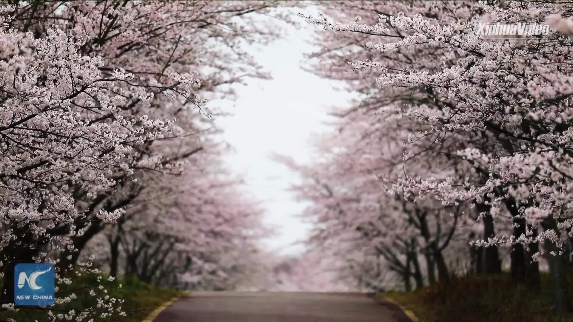 700.000 cây anh đào đồng loạt nở hoa