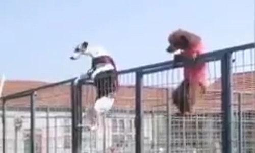 Chó trổ tài leo trèo như khỉ