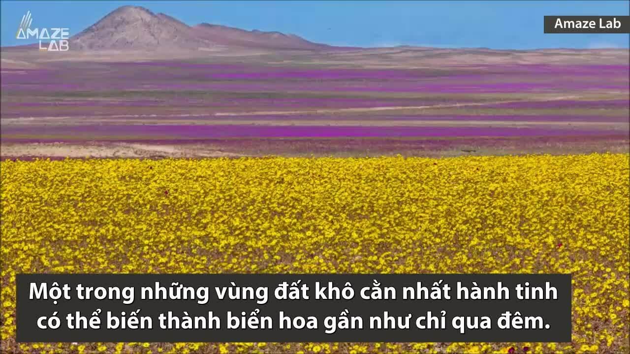 Hiện tượng biến sa mạc khô cằn thành biển hoa
