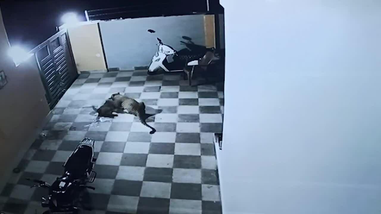Báo hoa mai trèo tường vào nhà dân săn chó