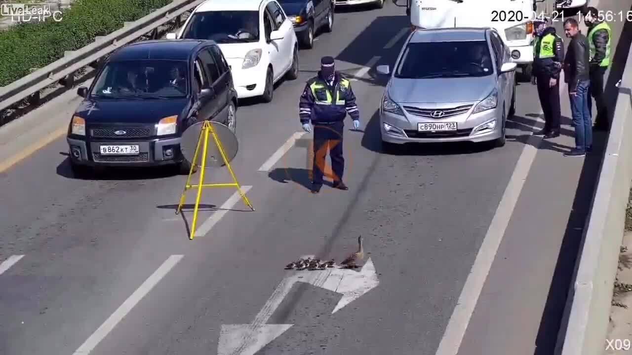 Cảnh sát chặn xe để đàn vịt sang đường