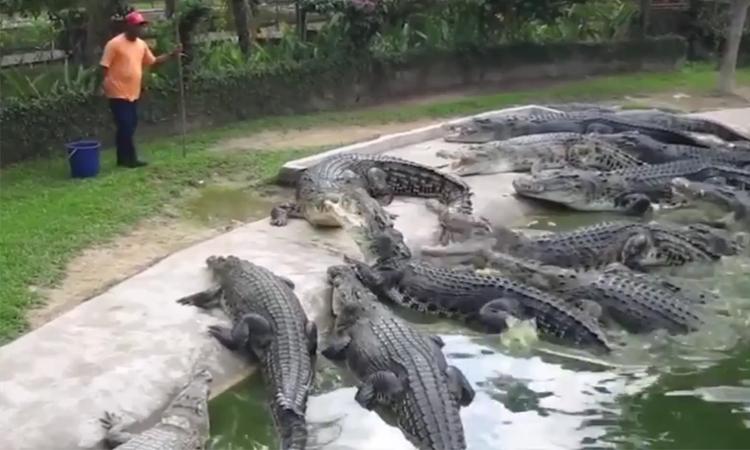 Du khách phấn khích khi xem cảnhcho đàn cá sấu khổng lồ ăn